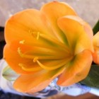 Clivia Cameron peach green centre  cемян
