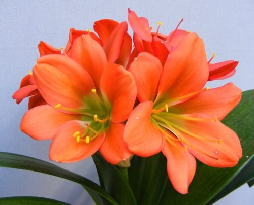 Clivia Jackpot Bronze Green Centre Clivia red-bronze with green centre seeds