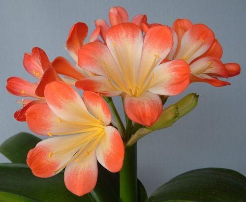 Clivia Picotee Daruma Clivia orange with white centre seeds