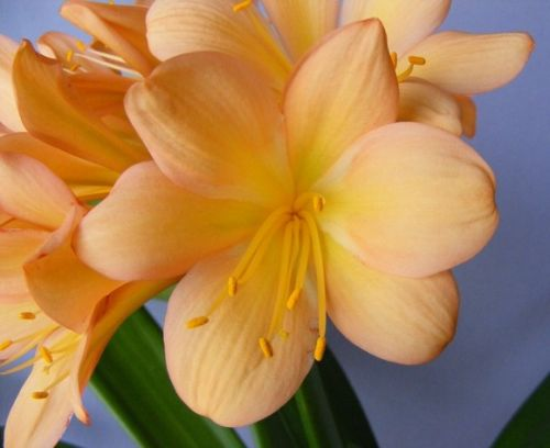 Clivia Pinky Cameron Clivia orange with pink seeds