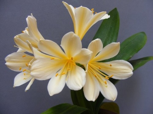 Clivia Vico Variegated Clivia pale yellow seeds