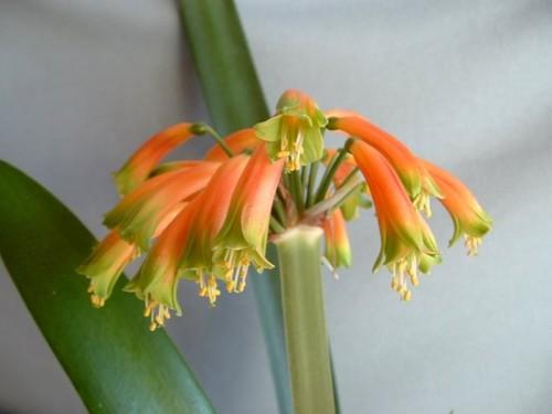 Clivia gardenii Clivia orange-green seeds