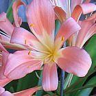 Clivia miniata 40 TF Pink Clivia pink, peach and pastel seeds