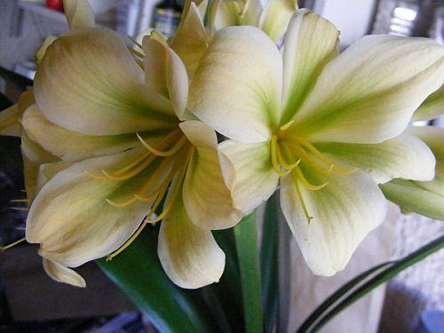 Clivia miniata Bill Morris Yellow Green Centre Clivia - yellow and green seeds