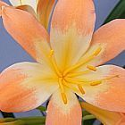 Clivia miniata Full throat pastel