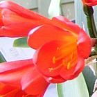 Clivia miniata Garsfontein red
