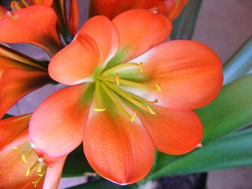 Clivia miniata Majenta bronze green centre Clivia - green centre seeds