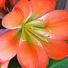 Clivia miniata Majenta bronze green centre Clivia ? gr?nes Zentrum Samen