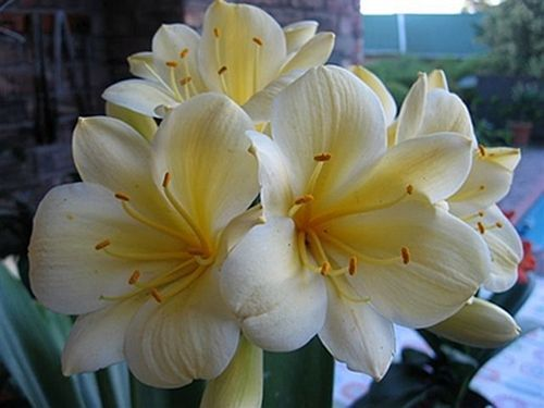 Clivia miniata Yellow No 1 ex Ernst Linder Clivia - yellow and green seeds