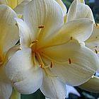 Clivia miniata Yellow No 1 ex Ernst Linder Clivia ? gelb und gruen Samen
