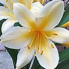 Clivia miniata citrina