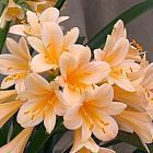 Clivia miniata pastel peach colours