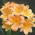 Clivia peach219  cемян