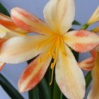 Clivia peach and pink  semillas