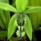 Coelogyne mayeriana  cемян