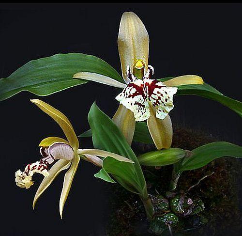 Coelogyne schilleriana orchids seeds