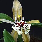 Coelogyne schilleriana orqu?dea semillas