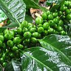 Coffea robusta Кофе Робуста cемян