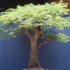 Commiphora africana v. glaucidula Baum - Bonsai Samen
