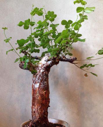 Commiphora edulis var boiviniana Caudiciform seeds