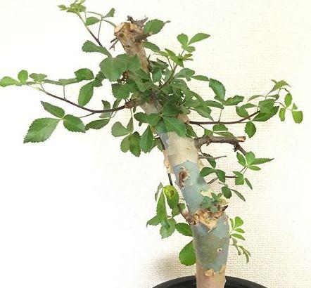 Commiphora holtziana Caudiciform seeds