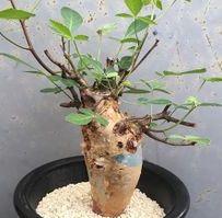 Commiphora longipedecellata Caudiciform seeds