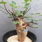 Commiphora longipedecellata Caudexpflanze Samen