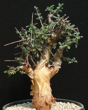 Commiphora sp Langobaya Hills Caudiciform seeds