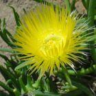 Conicosia pugioniformis  semillas