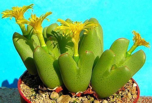 Conophytum bilobum succulent seeds
