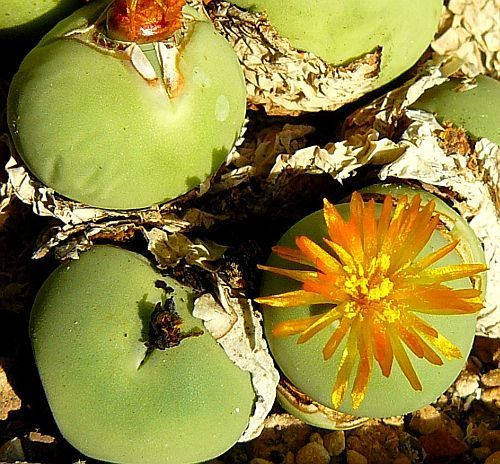 Conophytum calculus succulent seeds
