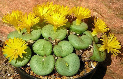 Conophytum flavum ssp flavum succulent seeds
