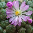 Conophytum fulleri syn: Ophthalmophyllum fulleri Samen