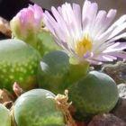 Conophytum limpidum syn: Ophthalmophyllum limpidum Samen