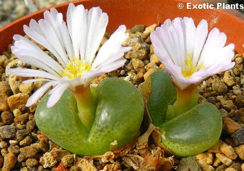 Conophytum lydiae syn: Ophtalmophyllum lydiae seeds