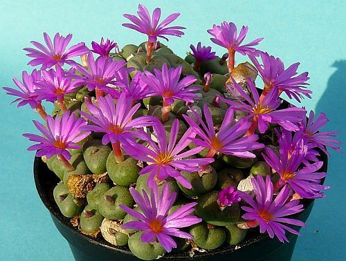 Conophytum minutum stone plant seeds