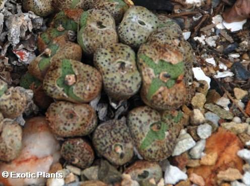 Conophytum obcordellum succulent seeds