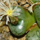Conophytum obcordellum declinatum Mesemb Samen