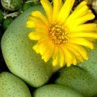 Conophytum ornatum  Mesemb Samen