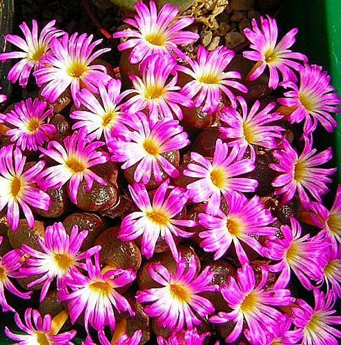 Conophytum subfenestratum succulent seeds