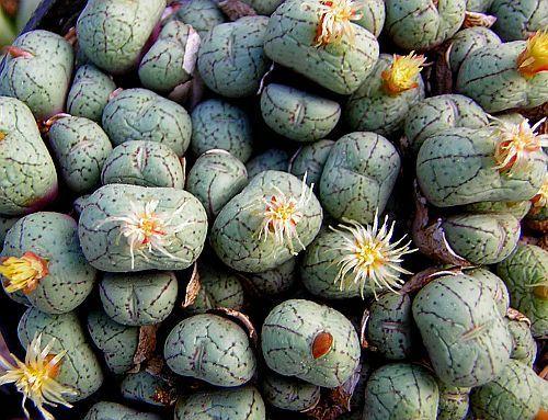 Conophytum uvaeforme stone plant seeds