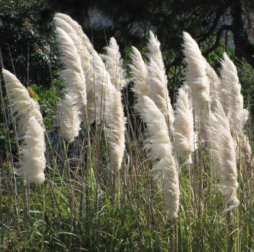 Cortaderia selloana White White Pampas Gras - White Feather seeds