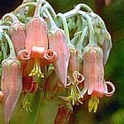 Cotyledon campanulata  cемян