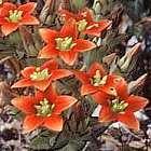 Crassula dichotoma  semillas