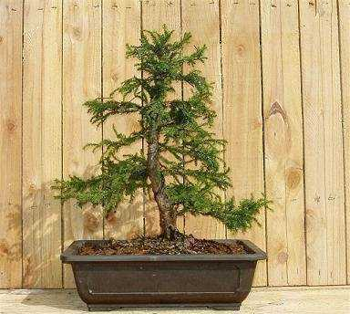 Cryptomeria japonica Japanese cedar seeds
