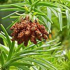 Cunninghamia lanceolata  semillas