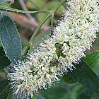 Cunonia capensis Cunonia semillas