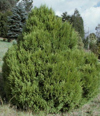 Cupressus torulosa Himalayan cypress - Bhutan cypress seeds