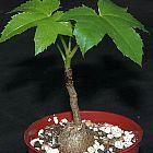 Cussonia natalensis Felsenkohlbaum  Samen