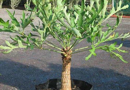 Cussonia paniculata Mountain cabbage tree seeds